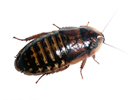 Dubia Roaches subadult Live Insects, Feeders